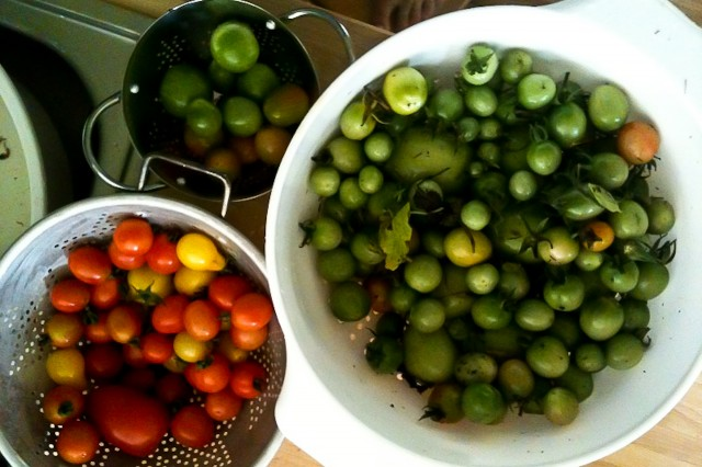 tomatoes fresh from the vine