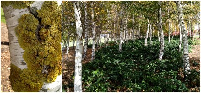 Birch grove with lichen detail